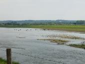 Les vaches en pâture au milieu de l'eau